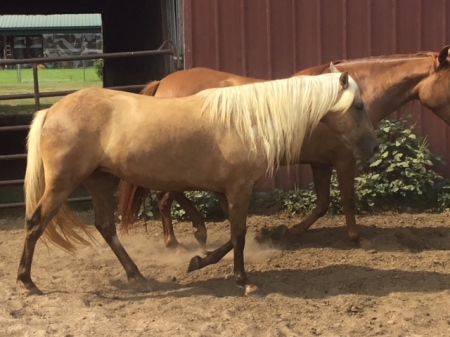 Machica EZ, Paso Fino Filly for sale in Louisiana